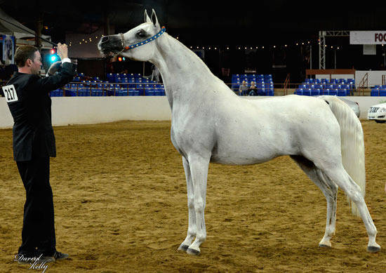 Vejora at Arabian Breeders Finals 2012
