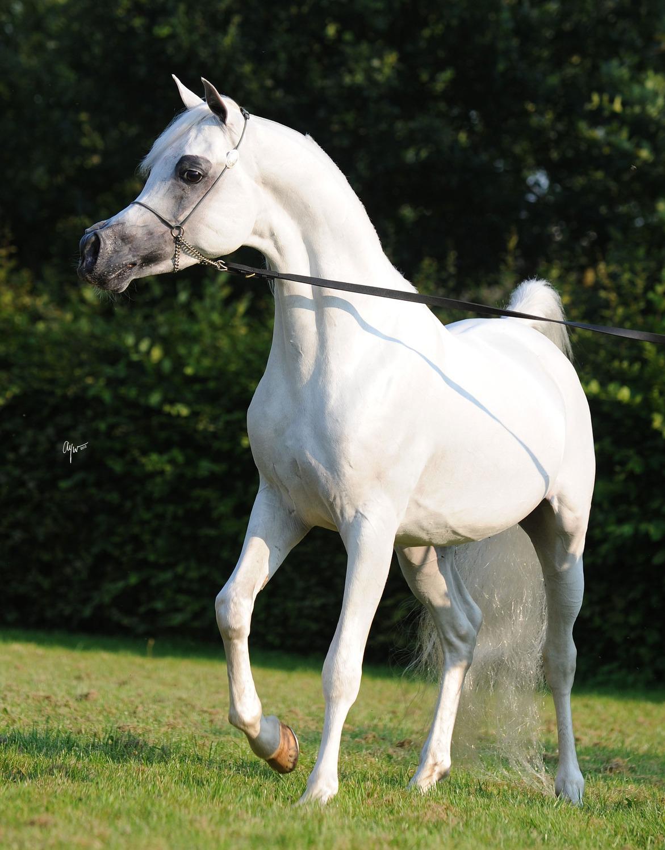 Rl Artique Arabian Horses Of Stonewall Farm