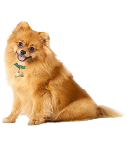 adopt pomeranian puppies pomeranian puppies dogs for adoption 6223