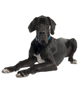 Great Dane Puppies Amp Dogs For Adoption
