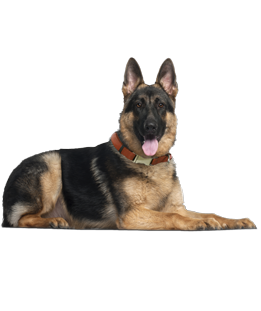 German Shepherd Puppies Amp Dogs For Adoption
