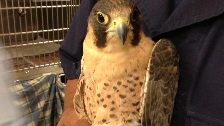 Layla the falcon
