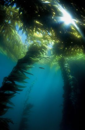 Environment Wheeler North Kelp Canopy