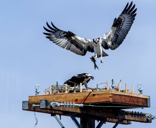 copy+-+Ospreys+by+Mark+Rightmire+Orange+County+Register+RV