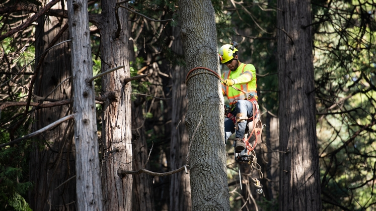 Crews are removing thousands of trees that pose a threat to SCE power lines in high fire risk areas.