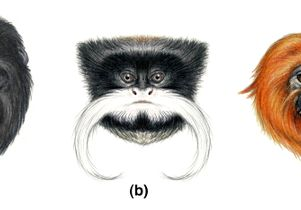 Faces of New World primates