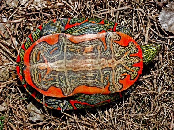 Underside of the western painted turtle