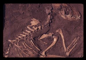 Click to open the large image: Ancient dog fossil