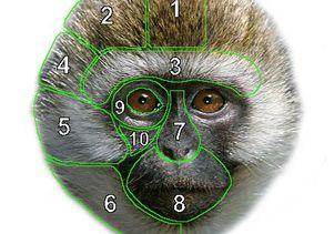 Face of a vervet monkey