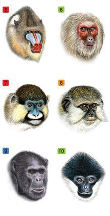 Primate faces