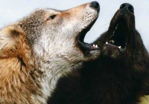 Click to open the large image: Dogs-Two wolves cropped 2 -Monty Sloan