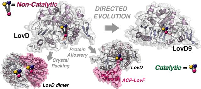 Directed evolution of LovD enzyme