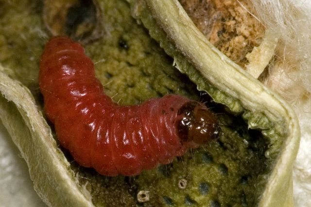 Bollworm caterpillar
