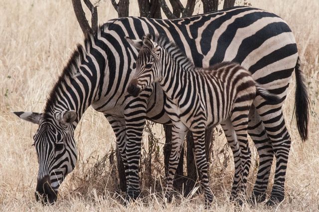 Mother zebra with foal