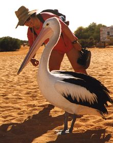 Pelican on the beach