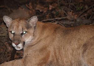 Griffith Park mountain lion P-22