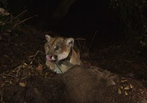 Griffith Park mountain lion P-22 eating