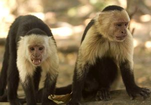 Capuchin monkeys in Costa Rica
