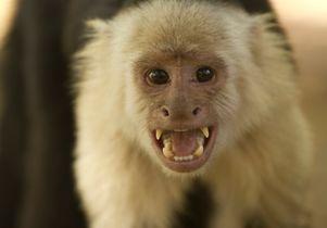 Capuchin monkey