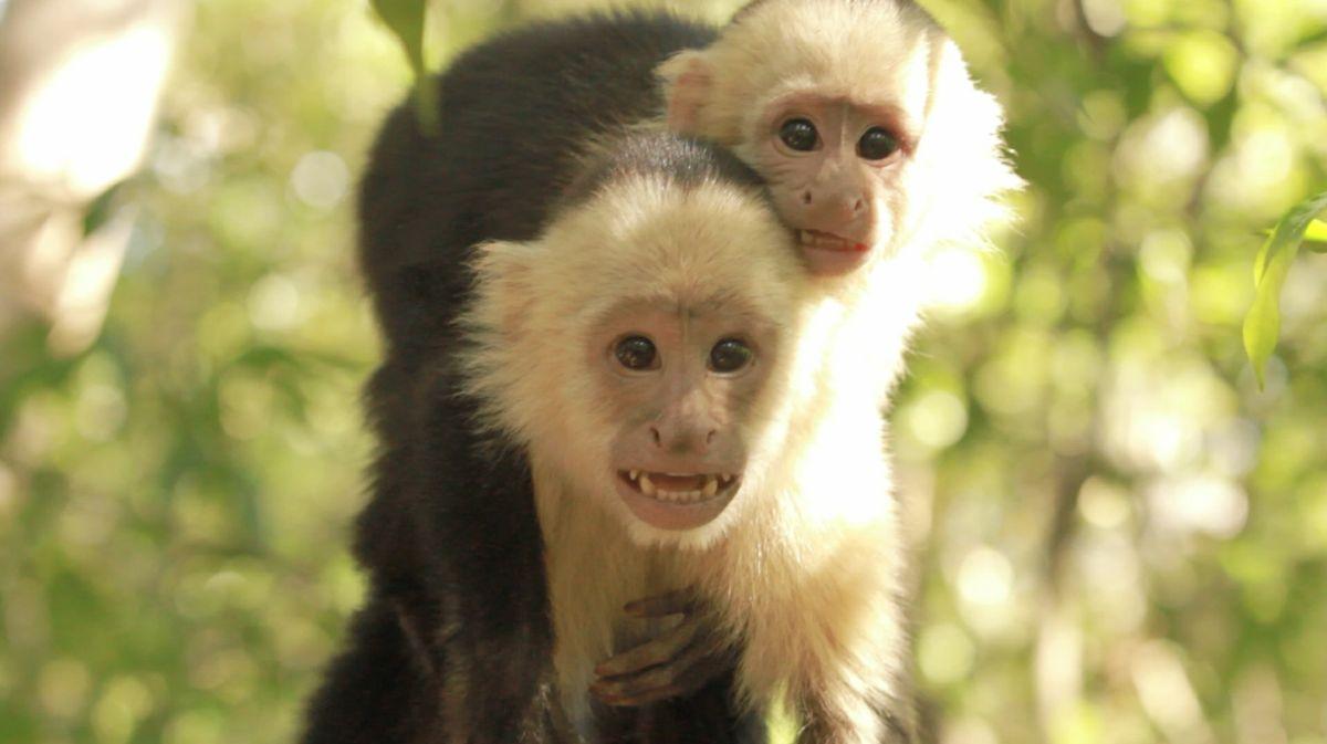 Capuchin Stacking