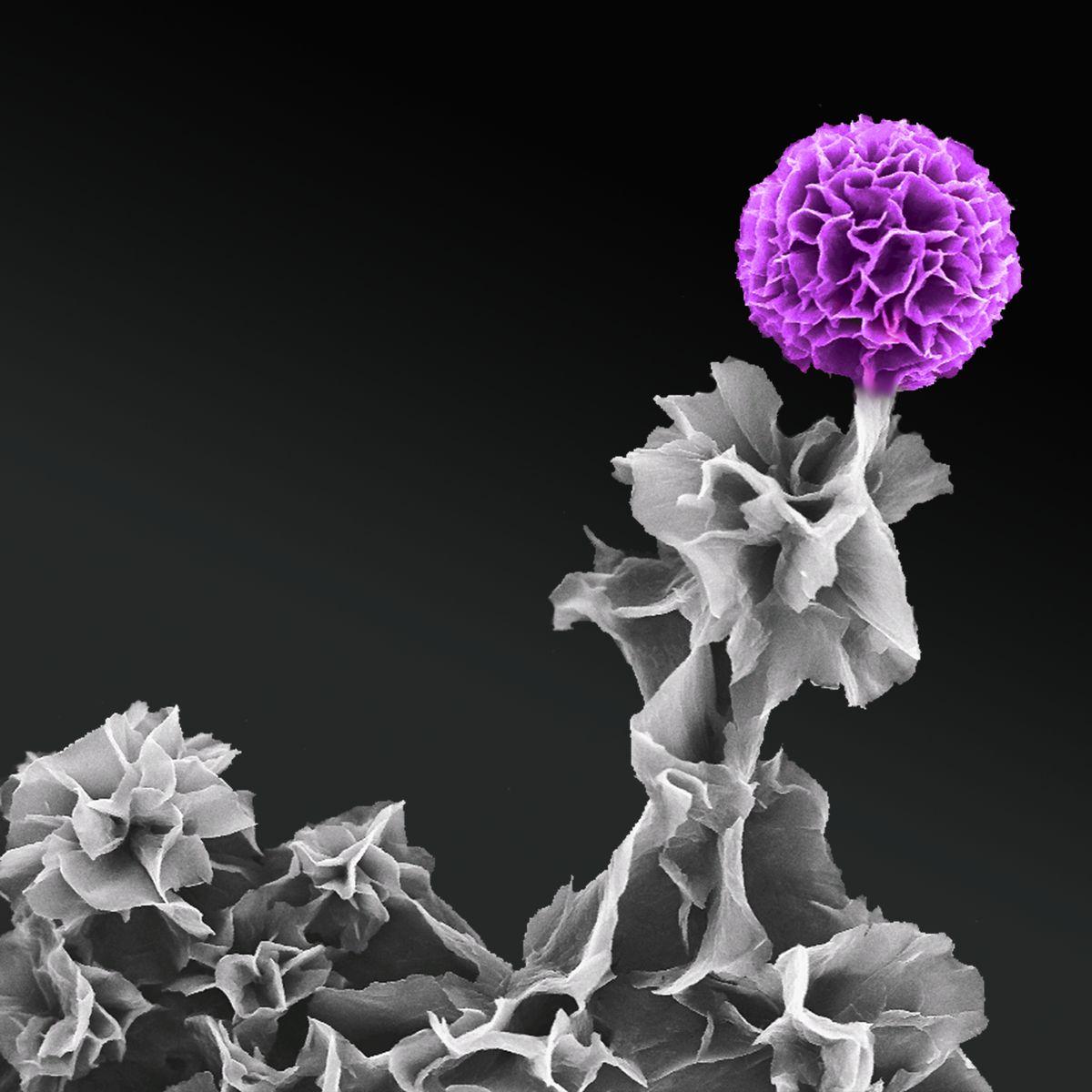 Tetraanaline in full bloom
