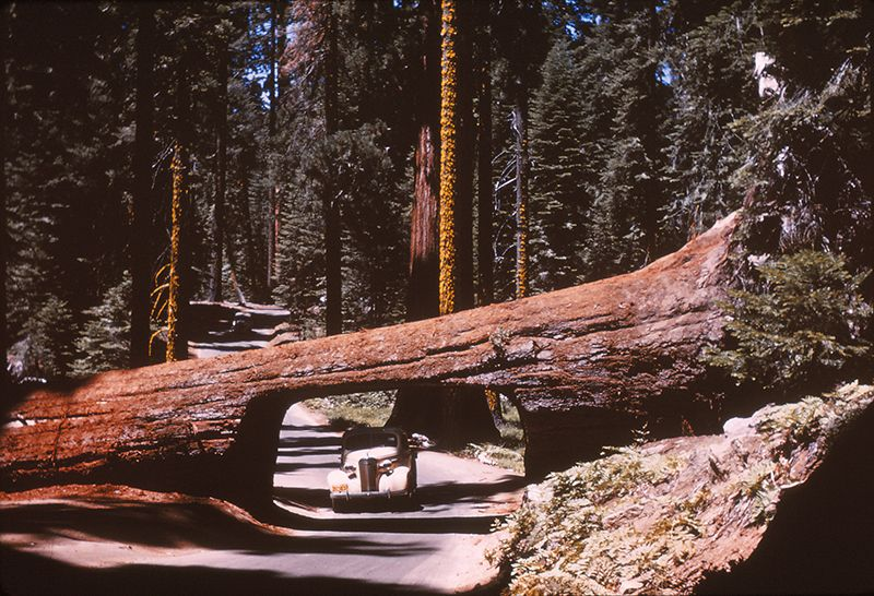Sequoia tunnel