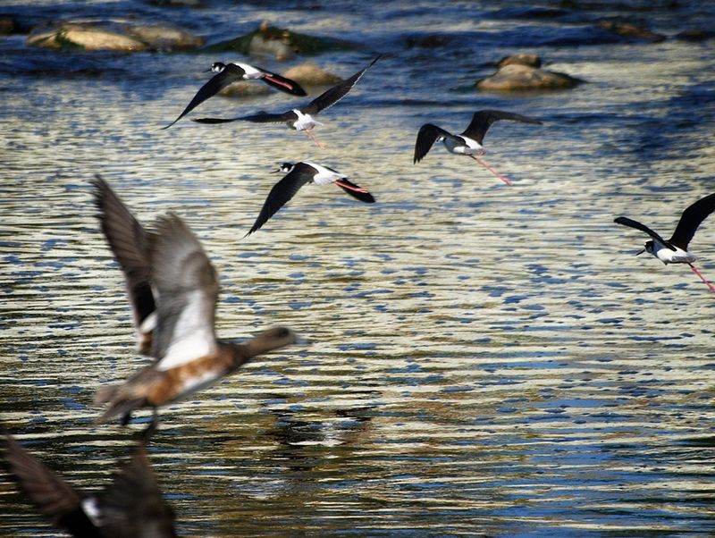 Los Angeles River birds