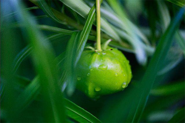 Thevetia peruviana (yellow oleander)