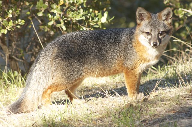 A Channel Island fox