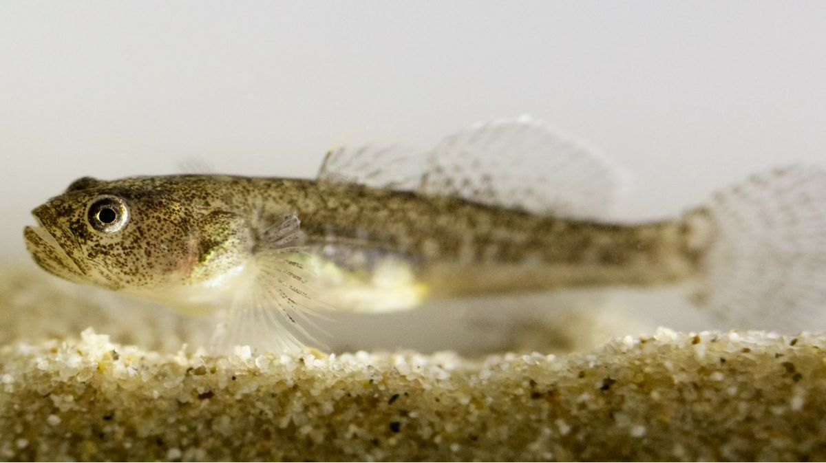 Southern Tidewater Goby