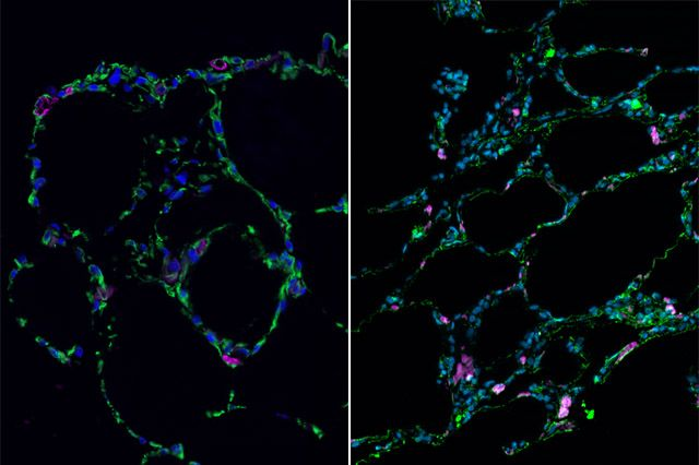 Bioengineered lung-like tissue