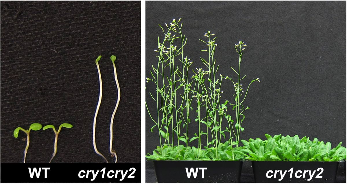 Arabidopsis plants