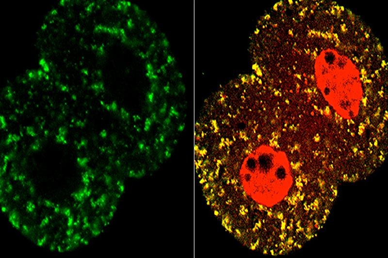 Mitochondria and cell nuclei in the two-cell stage mouse embryo