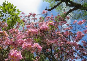 Click to open the large image: Flowering trees