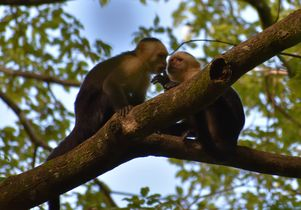 Capuchin hand in mouth