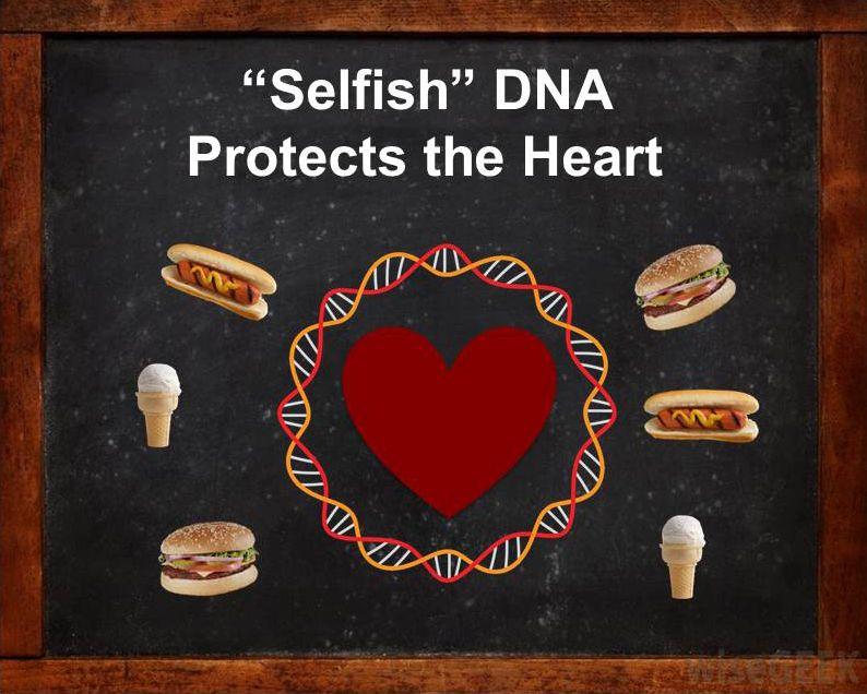 """Selfish"" DNA illustration"