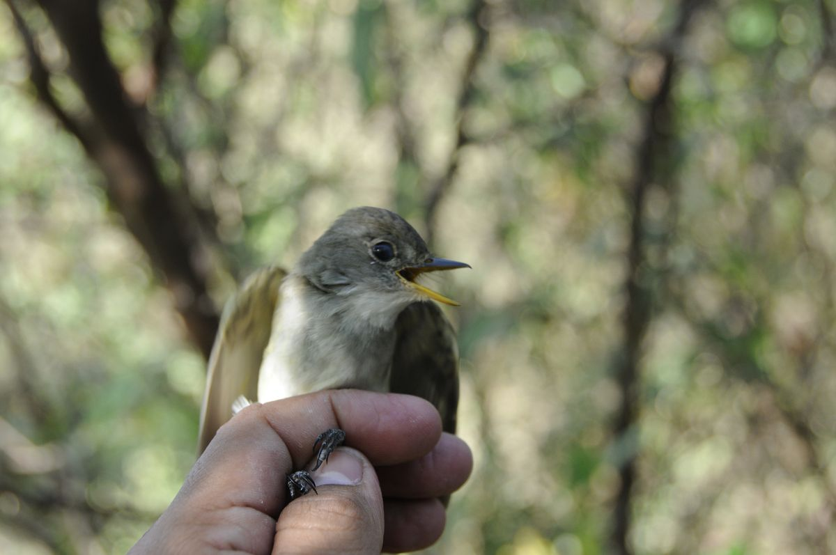 Willow flycatcher perched on a hand