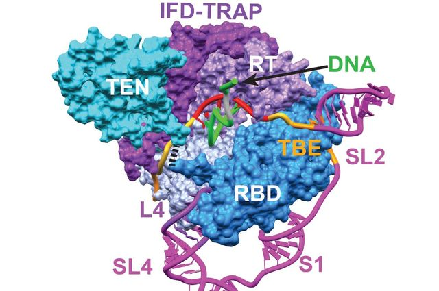 Telomerase's catalytic core