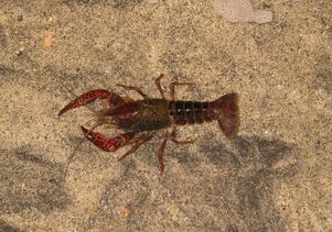 Click to open the large image: Crayfish