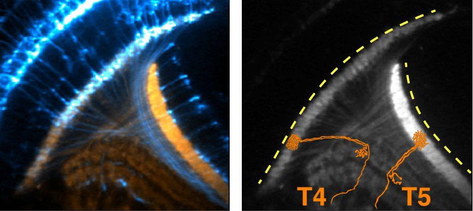 Neurons signaling UCLA