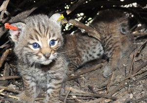 Bobcat kitten with tagged ears