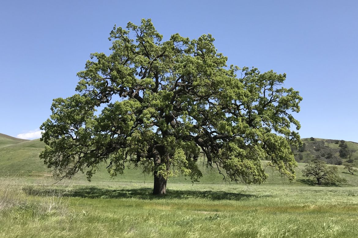 Valley oak tree