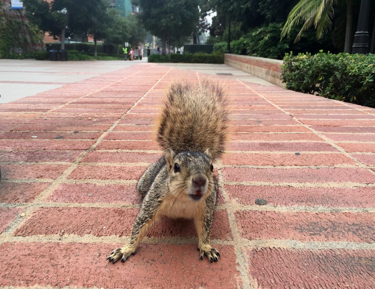 One of the UCLA campus squirrels