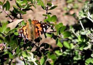 Painted lady at UCLA