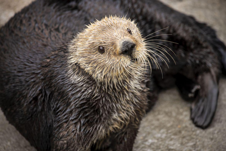 Gidget, a sea otter