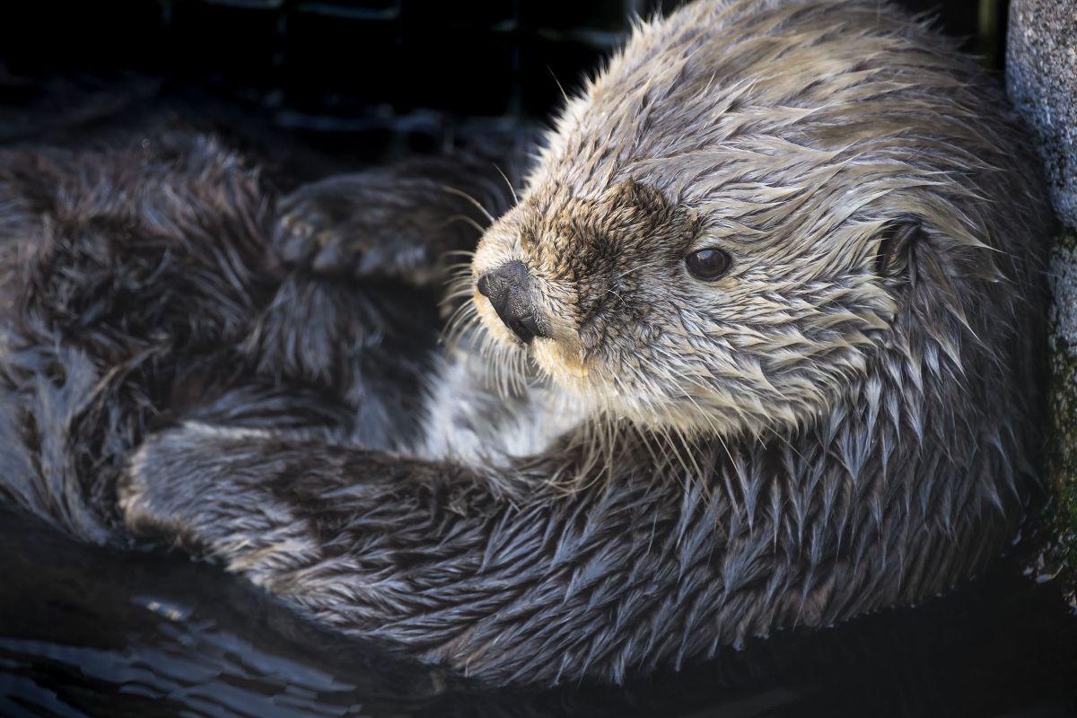 Sea otter Gidget