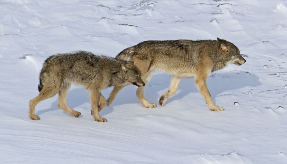 Wolves at Isle Royale, Lake Superior