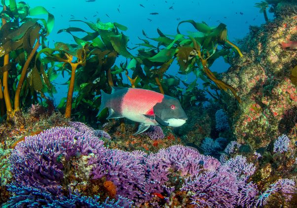 California sheephead and coral