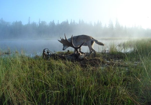 Wolf and a dead moose