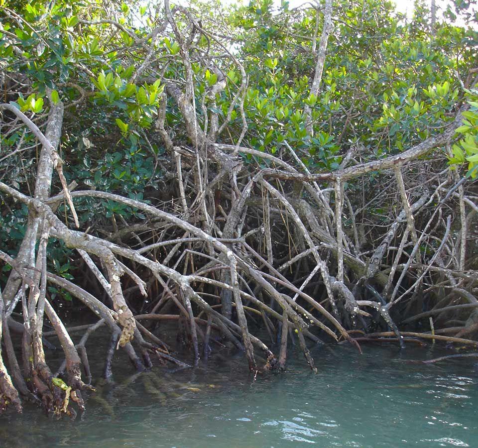 Florida-mangrove